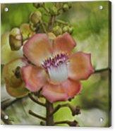 Cannonball Blossom Acrylic Print
