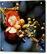Cannonball Flower Acrylic Print