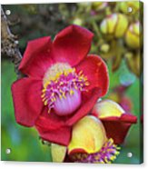 Cannonball Tree Flower-st Lucia Acrylic Print