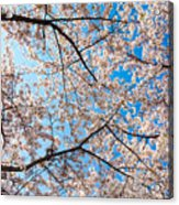 Canopy Of Cherry Blossoms Acrylic Print