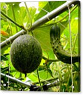 Cantaloupe And Hanging On Tree 1 Acrylic Print