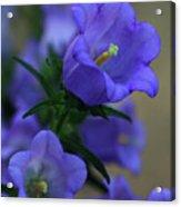 Canterberry Bells Acrylic Print