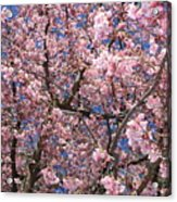 Canvas Of Pink Blossoms Acrylic Print