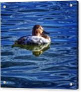 Canvasback And Blue Acrylic Print