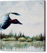 Canvasback  Over Lake Acrylic Print