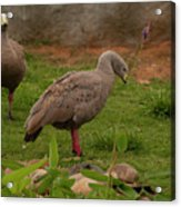 Cape Barren Geese Facing Right Acrylic Print