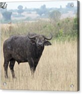 Cape Buffalo Eating Grass In Queen Elizabeth National Park, Ugan Acrylic Print