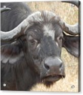 Cape Buffalo Acrylic Print