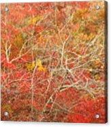 Cape Cod National Seashore Dwarf Beech Foliage Acrylic Print