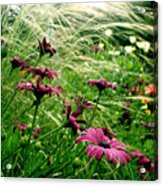Cape Daisies And Angel Hair Acrylic Print