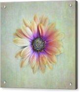Cape Daisy Looking Up Acrylic Print