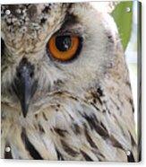 Cape Eagle-owl Acrylic Print