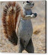 Cape Ground-squirrel  Acrylic Print