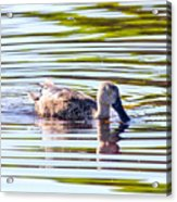 Cape Shoveler Acrylic Print