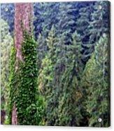 Capilano Canyon Ivy Acrylic Print by Will Borden