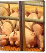 Capitalist Swine Acrylic Print