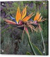 Captivating Bird Of Paradise In Full Bloom Acrylic Print