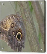 Captivating Photo Of A Brown Morpho Butterfly Acrylic Print