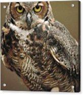 Captive Great Horned Owl, Bubo Acrylic Print