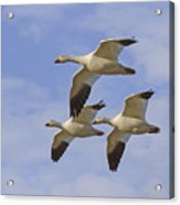 Captured Flight Of  Snow Geese Acrylic Print