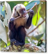 Capuchin Monkey Chewing On A Stick Acrylic Print