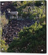 Capulon Buck Acrylic Print by Charles Warren