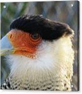 Caracara Bird Acrylic Print