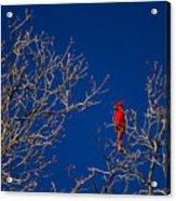 Cardinal Against Blue Sky Acrylic Print