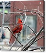 Cardinal Amid The Twigs Acrylic Print