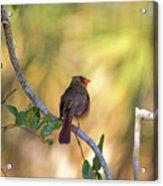 Cardinal  At Buschman Park Acrylic Print