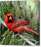 Cardinal Attitude Acrylic Print