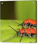 Cardinal Beetle  Acrylic Print