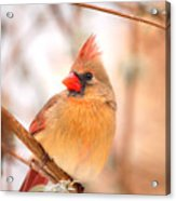 Cardinal Bird Female Acrylic Print