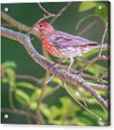 Cardinal Bird In The Wild In South Carolina Acrylic Print