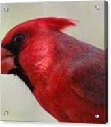 Cardinal Closeup D-bn2 Acrylic Print