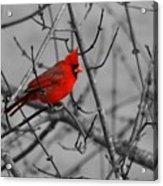 Cardinal Colorized Acrylic Print