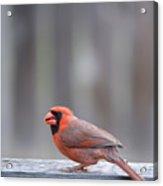 Cardinal Colors Acrylic Print