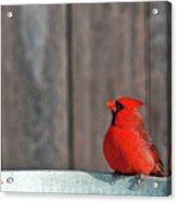 Cardinal Drinking Acrylic Print