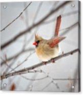 Cardinal Facing A Brisk Wind Acrylic Print