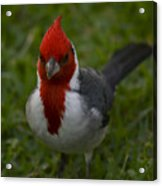Cardinal Front View In Grass Acrylic Print
