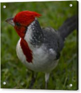Cardinal Grazing In Grass Acrylic Print