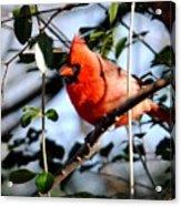 Cardinal IIi Acrylic Print