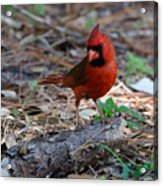 Cardinal In Charge Acrylic Print by Julie Cameron
