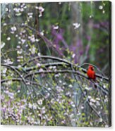 Cardinal In Flowering Tree Acrylic Print