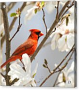 Cardinal In Magnolia Acrylic Print