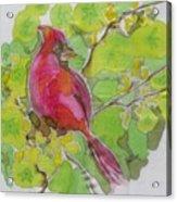 Cardinal In Palo Verde Acrylic Print