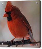 Cardinal In Snow Acrylic Print
