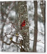 Cardinal In Snow Storm Acrylic Print