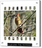Cardinal In Sunshine Acrylic Print