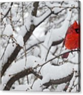 Cardinal In The Snow 3 Acrylic Print